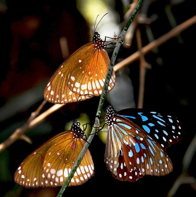 Agumbe_Butterflies