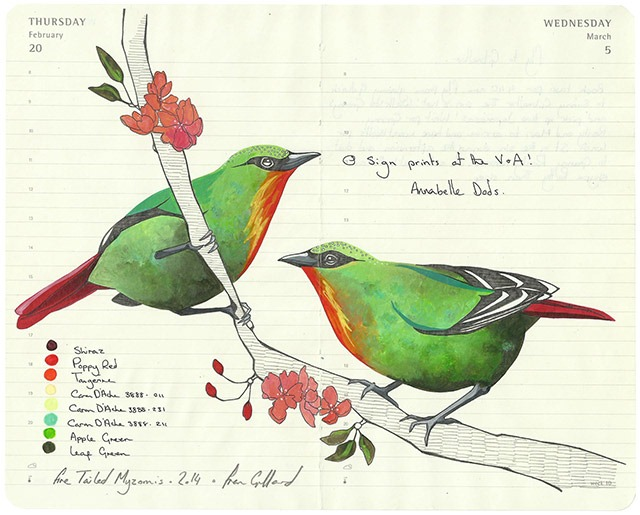 All-My-Beautiful-Boys-Ornithological-Drawings-by-Fran-Giffard-Fire-Tailed-Myzornis.jpg