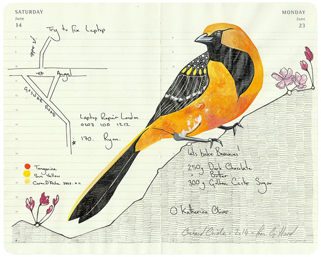 All-My-Beautiful-Boys-Ornithological-Drawings-by-Fran-Giffard-Orchard-Oriole
