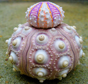Read more about the article Beautiful Sea Urchin