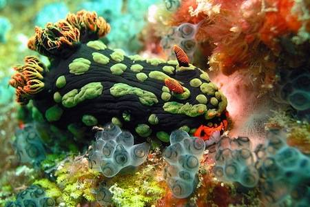 Read more about the article Beautiful Underwater Picture of a Nembrotha Kubaryana