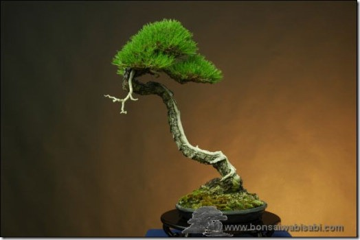 Read more about the article The Bonsai Art of Mario Komsta
